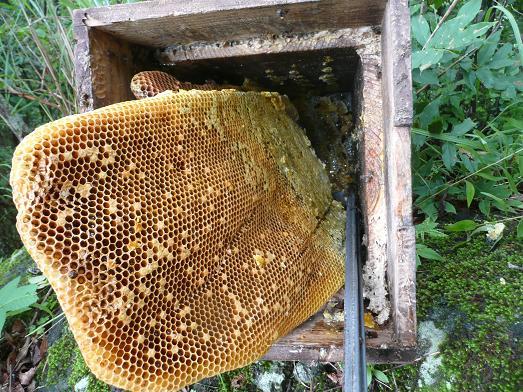 蜂子出しで採蜜 09,7,29 004