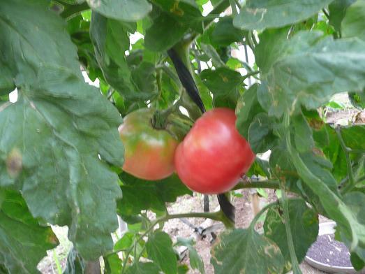 ハウストマト 09,8,2
