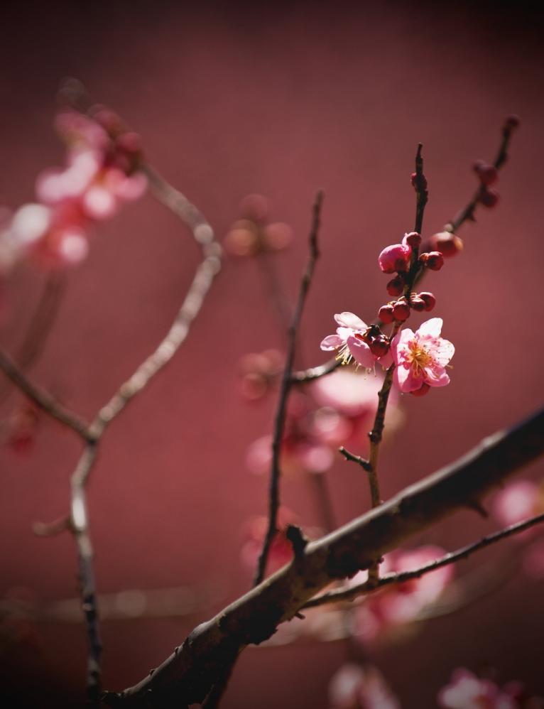 2011 02 19 紅梅 (38)