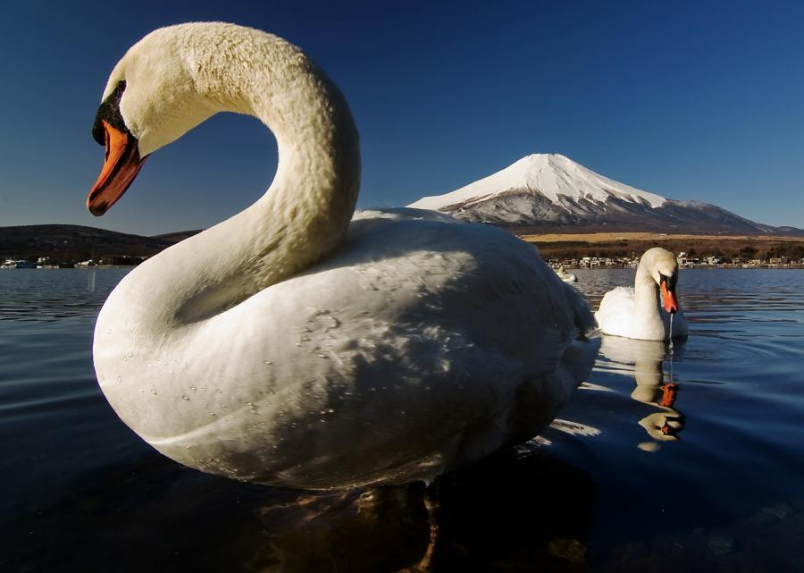 03 05 山中湖 白鳥 D70s (17)