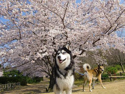 凛々しい北斗と桜とジョンのケツ