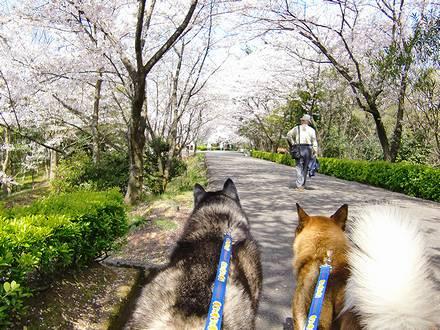 桜の下を歩くジョンと北斗