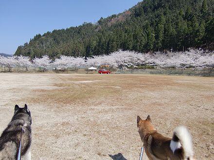 美山会場の桜