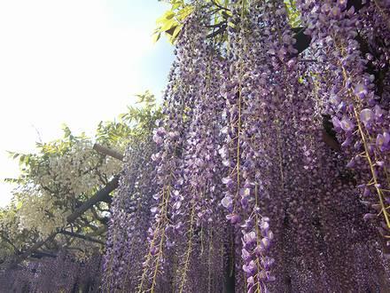 4種類の藤の花