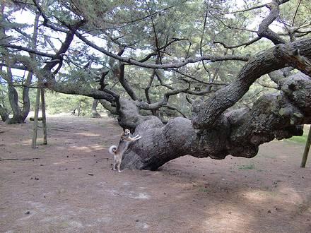 巨大な松の木