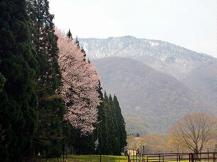 桜と黒姫山
