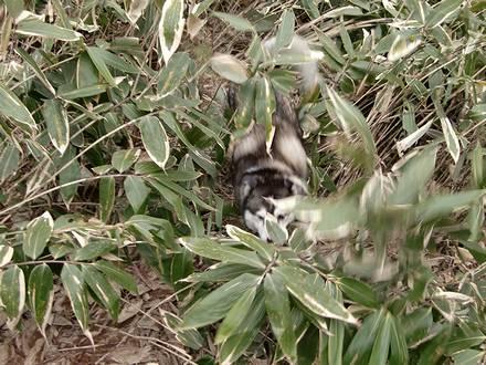 笹藪の中を上がってくる健太