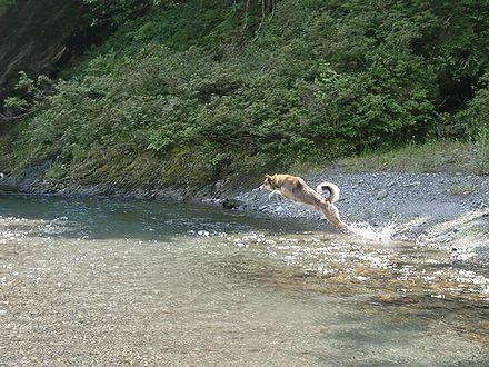 穴吹川に飛び込むジョン