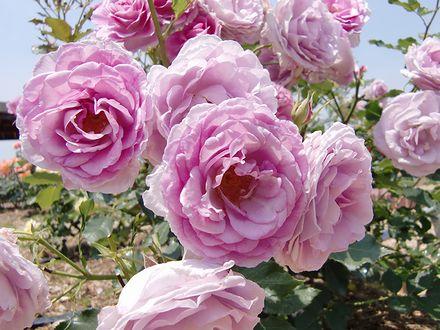 よしうみバラ公園のバラ1