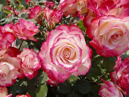 よしうみバラ公園のバラ2