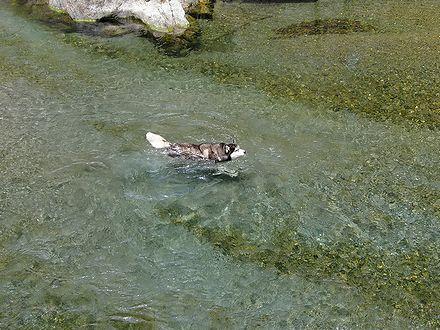 穴吹川を泳ぐ北斗を上から
