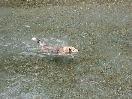 穴吹川を泳ぐジョンを上から