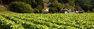金砂郷08-05-27(3)たばこ畑
