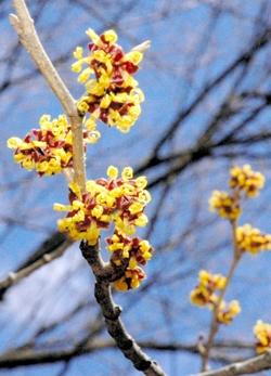 マンサクの花。