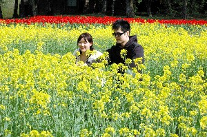 小岩井農場菜の花