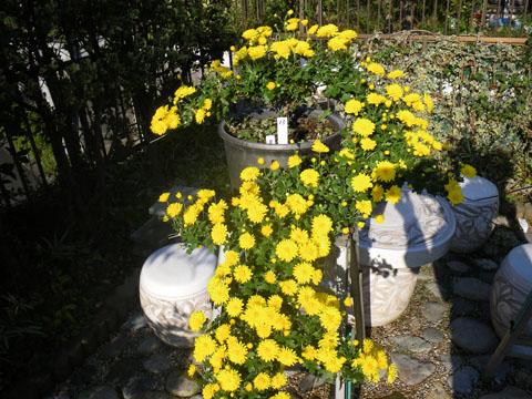 静岡型懸崖菊