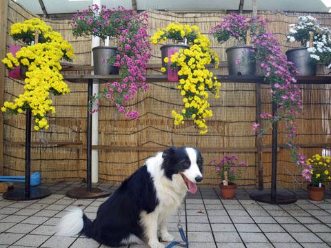 我が家の菊の前で