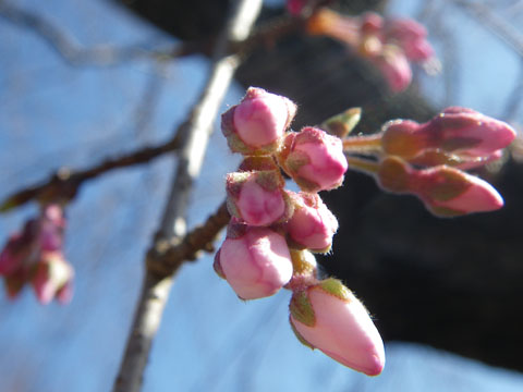 枝垂桜の蕾みも脹らんで