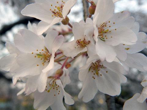枝垂れ桜が綺麗