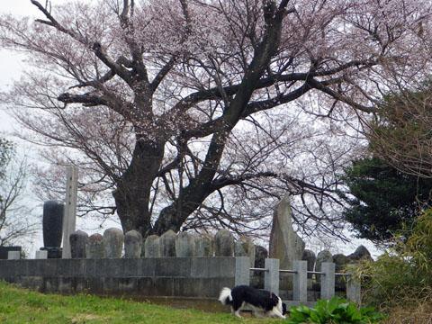 大きい桜の木