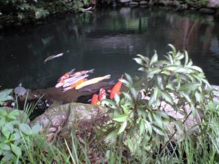 深大寺の鯉
