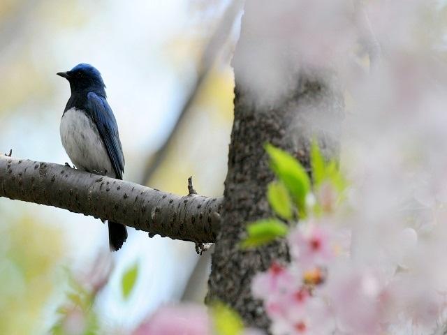 オオルリ桜B6P