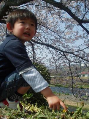 富士の桜1
