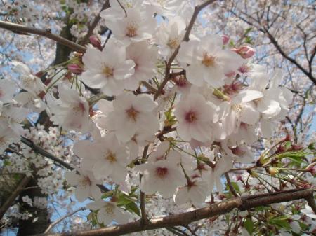 富士の桜2