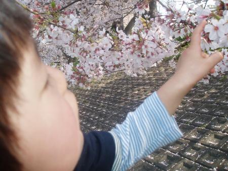 富士の桜3