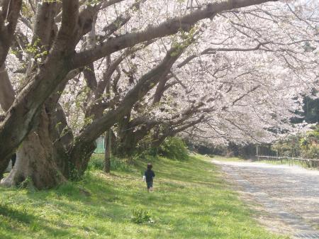 富士の桜6並木