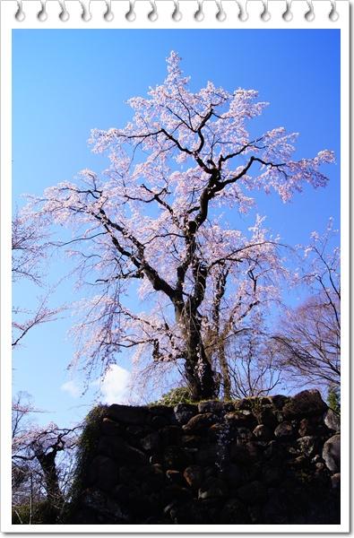 DSC032472011桜 妙義 小諸