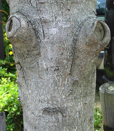 080607目出たい木
