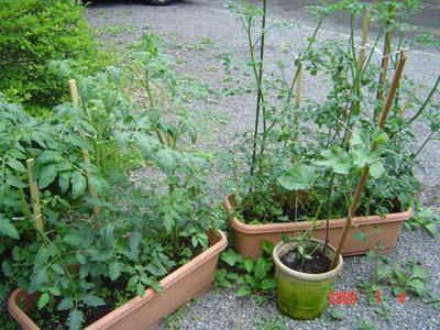 家庭菜園トマト1