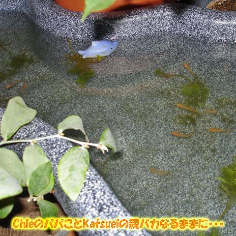 メダカを飼っている心池(小)2008年10月26日
