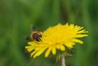 ミツバチ小