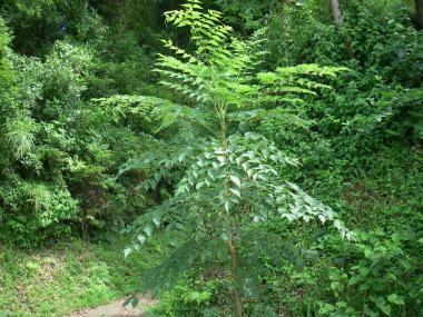 080713たらの木