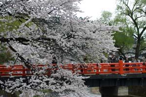 桜の花ちょうど満開