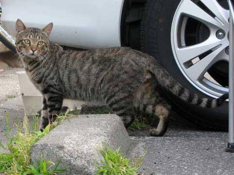 黄金岬キャンプ場の野良猫-4