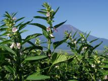 富士山と胡麻の花
