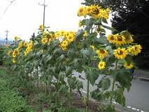 畑の端に酢向日葵