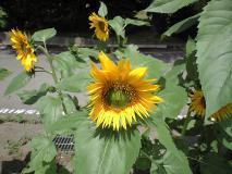 咲き出した向日葵