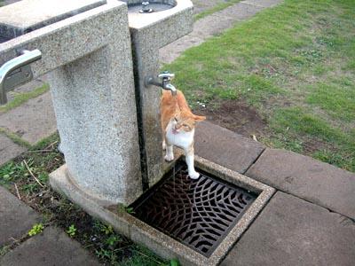 公園の水飲み猫