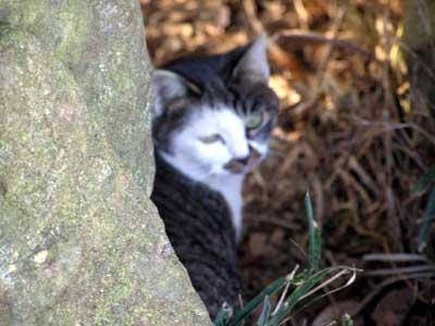 cheshire cat b-1