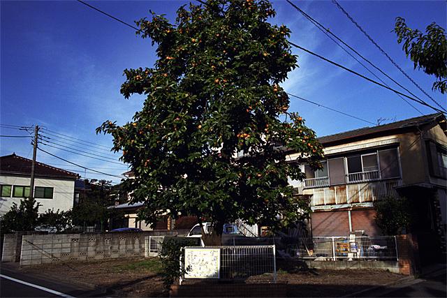 柿の木_081101