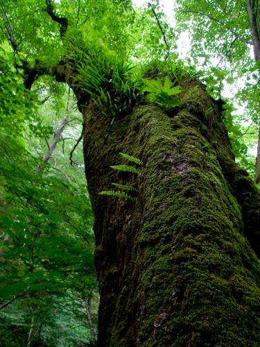 白糸の滝 近くの巨木
