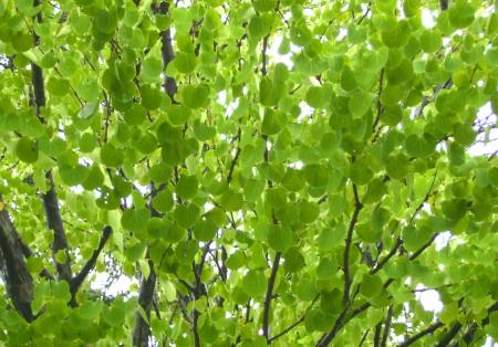 桂岡小学校 桂の葉