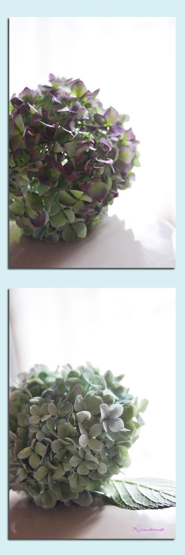 10月1日秋色紫陽花3