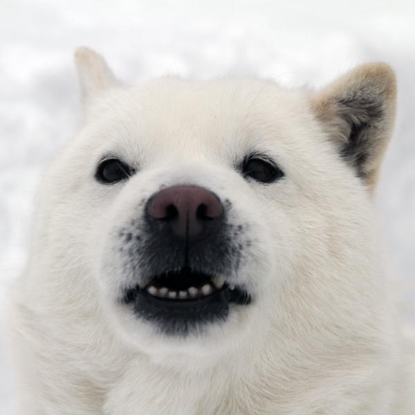 北海道犬_convert_20120403220151