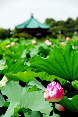 忍ばずの池蓮の花