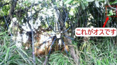 オオジョロウグモのオス